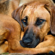 Stock Photo: Rhodesian ridgeback dog