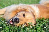 肖像年轻美丽的狗 — 图库照片
