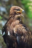 The Steppe Eagle (Aquila nipalensis) - portrait. — Stock Photo