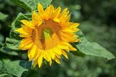Gelbe sonnenblume — Stockfoto