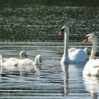 Stock Photo: Mute Swan Family