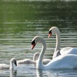Mute Swan Family — Stock Photo #11110453