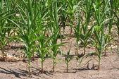 Drought Stricken Corn Field — Stock Photo
