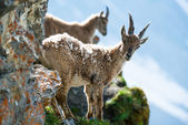 Two young alpine ibex — Stock Photo