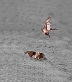 Birds two Ashy-crowned Sparrow Larks fighting on dust copy space — Stock Photo