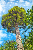 Tall green pine tree in the backdrop of blue sky white fluffy clouds — Stock Photo