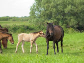 Dark horse with young colt on green meadow — Stock Photo