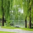 Royalty-Free Stock Photo: Willow