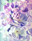 Eflatun çiçekler çok güzel arka plan — Stok fotoğraf