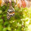 Stock Photo: Newborn butterfly on her cocoon
