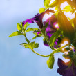 Purple petunia (surfinia) against the sky — Stock Photo