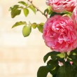 Background with pink roses — Stock Photo