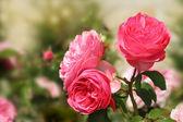 Arka plan ile pembe güller — Stok fotoğraf