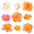 Stock Photo: Roses isolated on white background. Vector path!