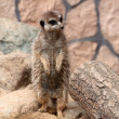 Portrait of a standing suricate - Stock Photo