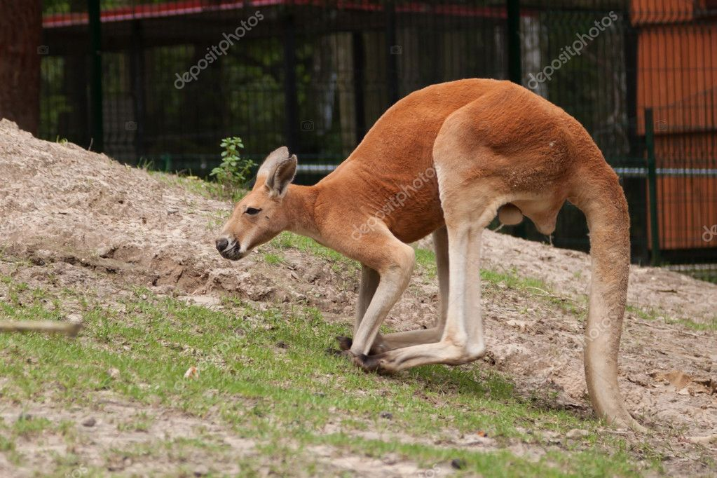 Kangaroo in the polish  zoo  Stock Photo #11763106