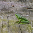 American Green Tree frog - Foto de Stock