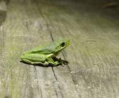 Green Tree Frog — Stock Photo