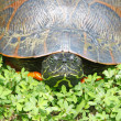 Eastern painted turtle — Lizenzfreies Foto