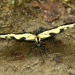 Eastern Tiger Swallowtail Butterfly — Stock Photo #11752273