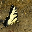 Eastern Tiger Swallowtail Butterfly — Stock Photo #11752277