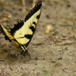 Stock Photo: Eastern Tiger Swallowtail Butterfly