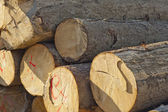 Stack spruce wood — Stockfoto