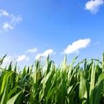 Corn Field — Stock Photo #12034398