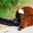 Stock Photo: The Red Ruffed Lemur (Varecia rubra)