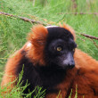 Red Ruffed Lemur, Varecia Rubra — Stock Photo #11783775