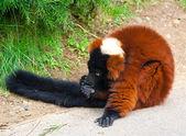 The Red Ruffed Lemur (Varecia rubra) — Stock Photo