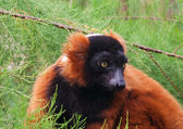 Red Ruffed Lemur, Varecia Rubra — Stock Photo