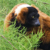 Red Ruffed Lemur, Varecia Rubra — Stock Photo