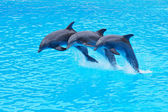 Leaping Bottlenose Dolphins, Tursiops truncatus — 图库照片
