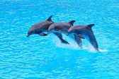 Leaping Bottlenose Dolphins, Tursiops truncatus — Stock Photo