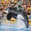 Leaping Killer Whale - Stock Photo
