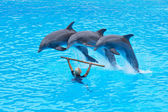 Three Bottlenose Dolphins, Tursiops truncatus, — Stock Photo