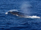Surfacing Fin Whale ( Balaenoptera physalus) — Stock Photo
