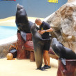 Sealion Show — Stock Photo