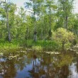 Постер, плакат: Bald Cypress Trees Swamp