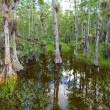 Bald Cypress Trees Swamp — Stock Photo