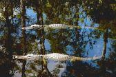 American Alligators (Alligator Mississippiensis) — Stock Photo