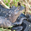 Baby American Alligators — Stock Photo