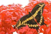 Giant Swallowtail Butterfly — Stock Photo