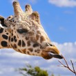A giraffe Tasting a Branch — Stock Photo