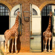 Giraffes at the London Zoo — Stock Photo