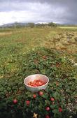 Rubus chamaemorus — Foto de Stock