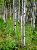 Aspen Birch Trees in Summer — Stock Photo
