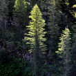 Forest of Pine Trees Morning Light - Stockfoto