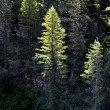 Forest of Pine Trees Morning Light - Stock Photo